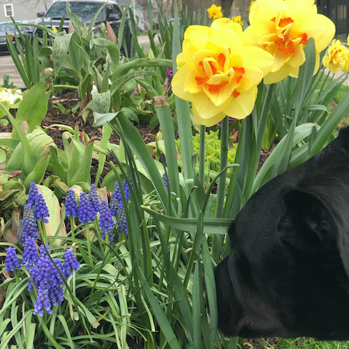 dog sniffing the flowers on sidewalk